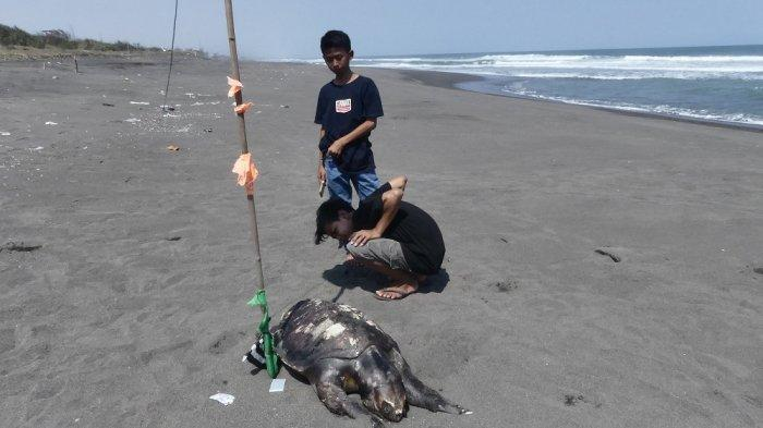 Nelayan Diminta Lebih Berhati-hati Jika Temui Penyu di Laut