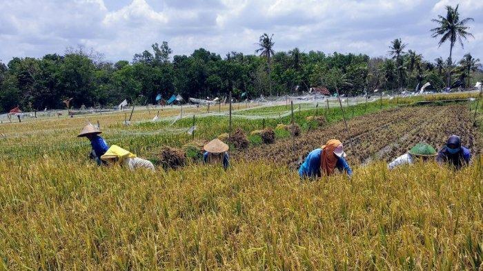 Panen Padi Musim Pertama di Gunungkidul Surplus, Sebagian Besar Disimpan Petani