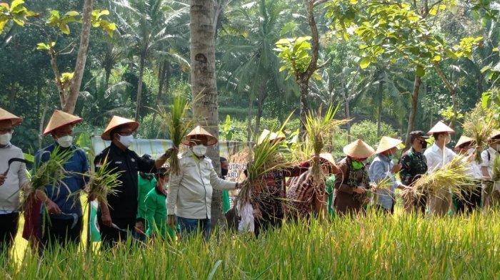 Panen Perdana Padi Inpari Nutri Zinc di Lahan Cetak Sawah Baru di Paingan Kulon Progo
