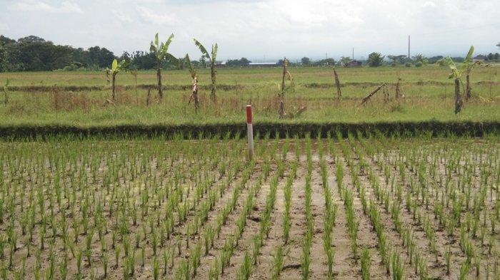 Ratusan Hektare Sawah di Klaten Diterjang Jalan Tol Yogyakarta-Solo, Begini Kata DPKPP