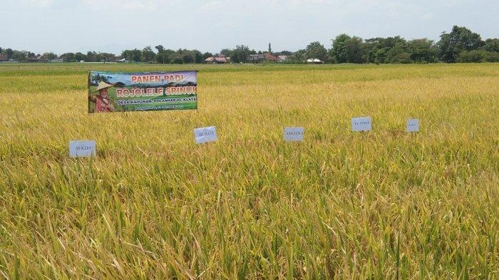 Pemkab Klaten Targetkan 300 Hektare Sawah Ditanami Padi Rojolele Srinar dan Srinuk Tahun 2022