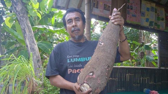 Petani di Klaten Panen Singkong Raksasa, Berat Umbi Capai 9 Kilogram