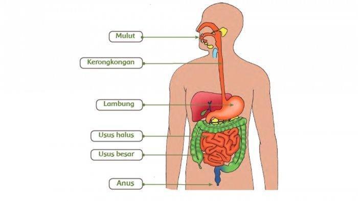 gambaran sistem pencernaan tubuh pada manusia