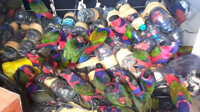 KRONOLOGI Usaha Penyelundupan Burung Nuri di Papua, Dimasukkan Botol Plastik Air Mineral