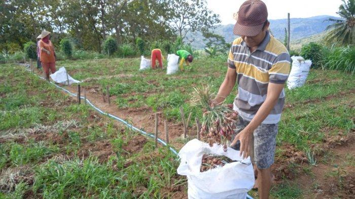 Petani Bawang Merah di Imogiri Bantul Mulai Panen