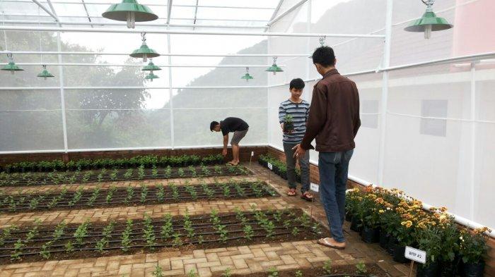 Petani Muda Kecamatan Patuk Budidayakan Bunga Krisan