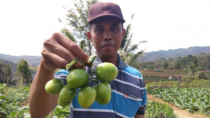 Harga Tomat Jatuh, Petani di Padukuhan Srunggo Bantul Bagikan Tomat Hasil Panennya Secara Gratis