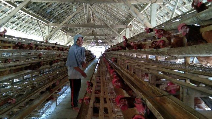 Harga Jual Telur Anjlok Harga Pakan Meroket, Peternak Ayam di Klaten Semakin Menjerit