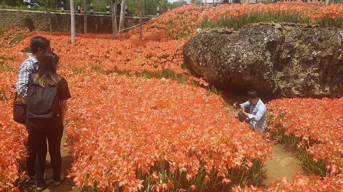 Petunjuk Arah Rute Dan Harga Tiket Masuk Taman Bunga Amarilis Pathuk Gunungkidul Tribun Jogja