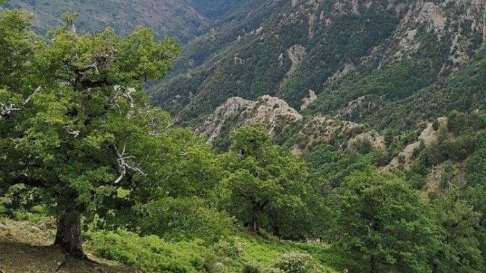 Inilah Pohon Kayu Keras Tertua, Berusia Hampir 1000 Tahun