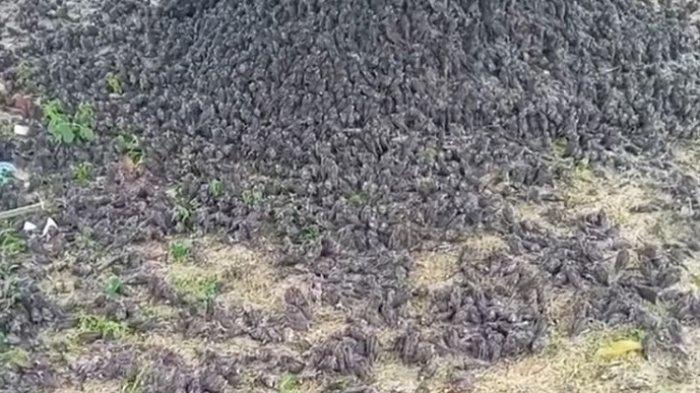 Ribuan Burung Pipit di Bali Mati Bukan Akibat Penyakit Infeksius, Ini Hasil Lab & Dugaan Penyebabnya