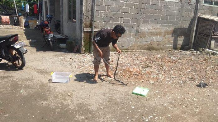 Ada 17 Laporan Ular Kopi dan Kobra Jawa di Magelang, Masuk Permukiman Sampai Sekolah