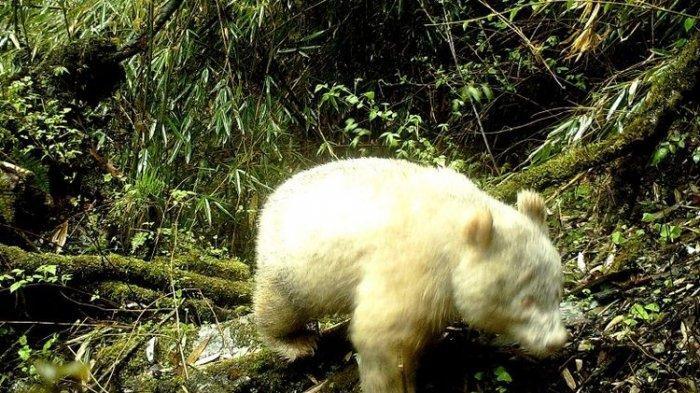 Panda Albino Pertama di Dunia Berhasil Ditemukan