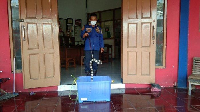 Selama 2021, Damkar Klaten Evakuasi Puluhan Ekor Ular dari Toko dan Rumah Warga