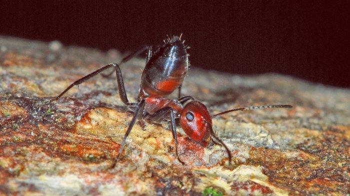 Inilah 9 Arti Mimpi Semut Api atau Semut Merah, Pertanda Penyesalan Mendalam