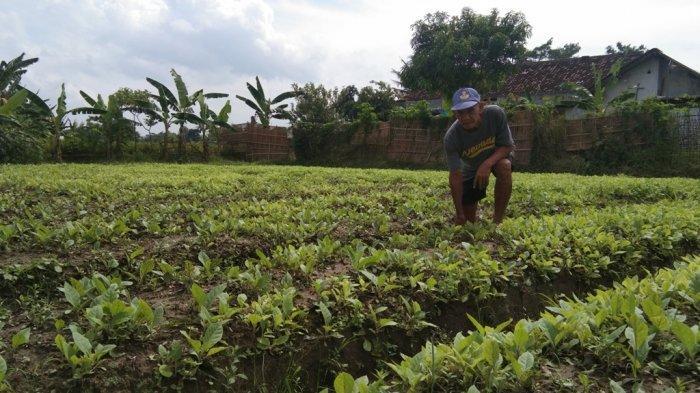 Cuaca Tak Menentu, Sejumlah Petani Tembakau di Klaten Mengaku Galau