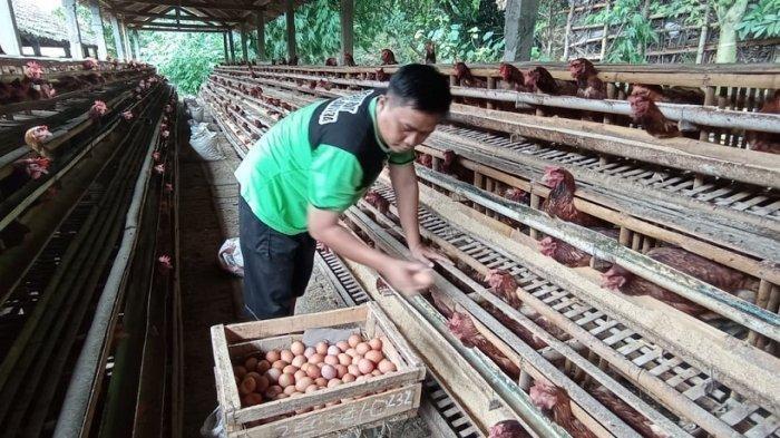 Sepekan Terakhir, Harga Telur Ayam Ras di Kulon Progo Mengalami Penurunan