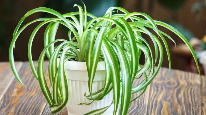 tanaman spiderplant
