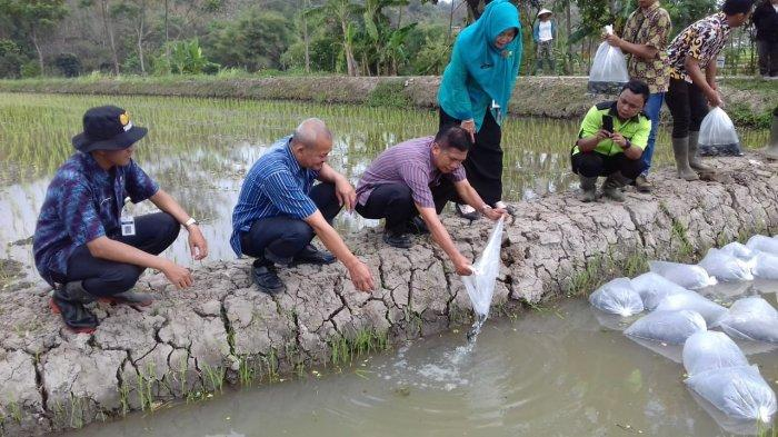 Disperpa Kota Magelang Kembali Tebar Bibit Ikan Nila di Demplot Minapadi