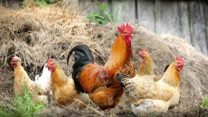 Ini 5 Tafsir Mimpi tentang Ayam, Mimpi tentang Ayam Goreng, Simbol Hoki dan Awal Kehidupan yang Baru