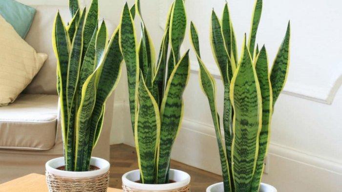 Ilustrasi tanaman Sansevieria atau juga dikenal sebagai Lidah Mertua.
