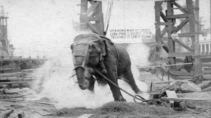 Kisah Tragis Topsy, Gajah Sirkus yang Disetrum Hingga Mati di Depan Penonton