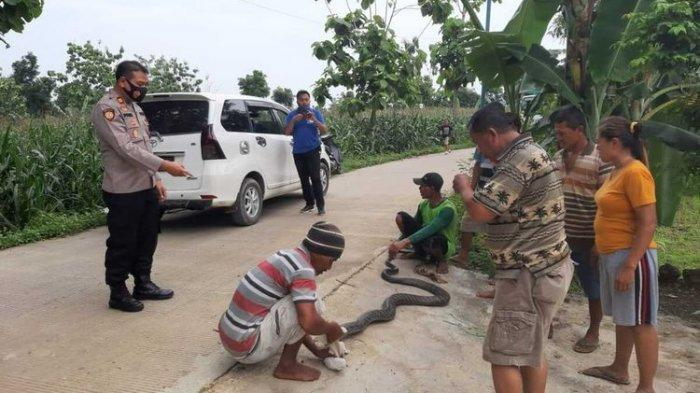 Ular king kobra sepanjang 4 meter berhasil ditangkap di area persawahan di Desa Lebengjumuk, Kecamatan Grobogan, Kabupaten Grobogan, Jawa Tengah, Jumat (4/12/2020) Sore.