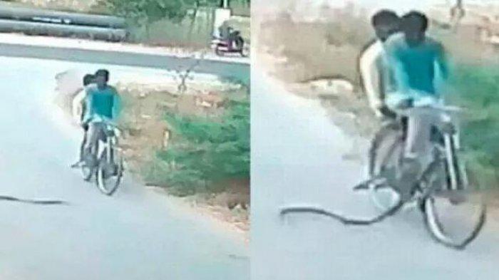 Pengendara Sepeda Onthel Lari Terbirit-birit saat Dikejar Ular Kobra yang Ngamuk