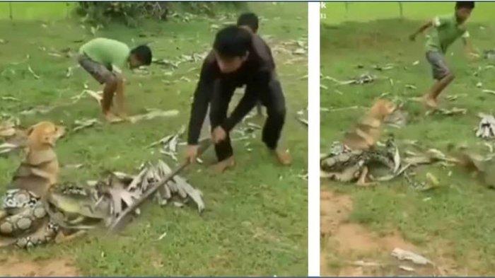 Tiga Bocah Berjibaku Menyelamatkan Anjing yang Dililit Ular Piton