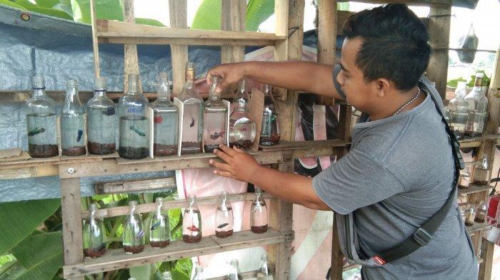 Usaha Handycraft Terimbas Pandemi, Pemuda di Klaten Banting Setir Jualan Ikan Cupang