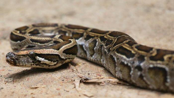 Ilustrasi - ular python