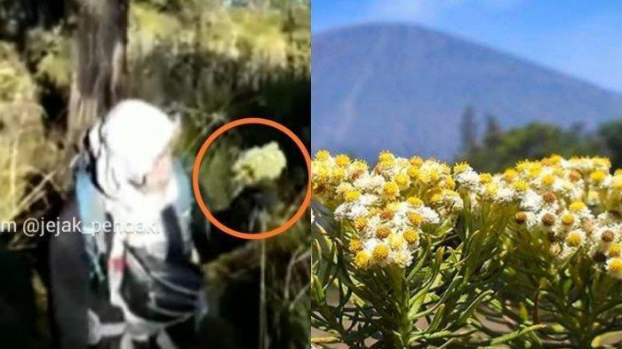Penampakan gadis pendaki yang memetik bunga abadi edelweis di jalur pendakian Gunung Lawu via Candi Cetho, Kabupaten Karanganyar.