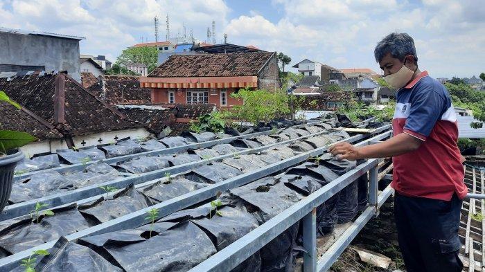 Warga Kota Yogya Sulap Atap Rumahnya Jadi Kebun Cabai nan Menjanjikan
