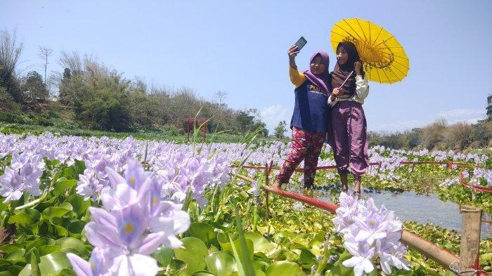 Wisata Enceng Gondok Musiman di Pundong Bantul Berkonsep Ala-ala Jepang