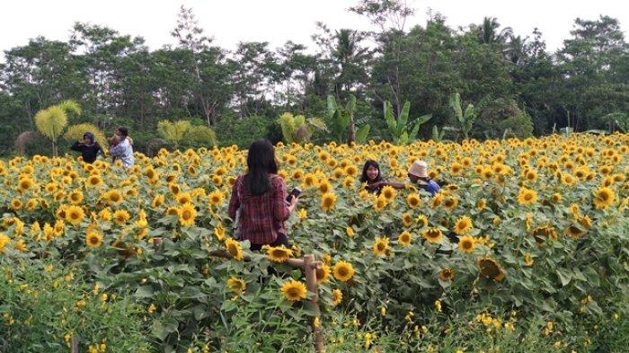 Menikmati Indahnya Hamparan Kebun Bunga Matahari Di Hargobinangun Sleman Tribun Jogja