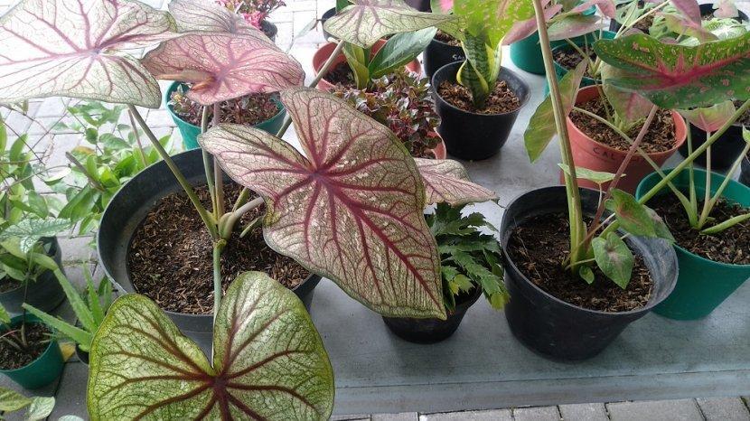 mengintip-trend-tanaman-hias-di-yogyakarta-caladium-brazil-dibanderol-rp-900-ribu-per-pot.jpg