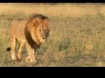 Singa-Afrika_1.jpg