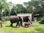arinta-bayi-gajah-koleksi-gl-zoo-yogyakarta-yang-kini-tengah-belajar-makan.jpg