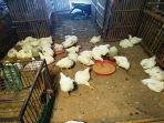ayam-broiler-yang-belum-terjual-di-pasar-terban-yogyakarta.jpg
