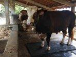 begini-penampakan-si-gombloh-sapi-dari-peternak-bantul-yang-dibeli-oleh-jokowi-untuk-kurban.jpg