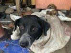 belasan-anjing-terselamatkan-dari-rumah-jagal-di-bantul.jpg