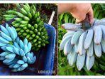 blue-java-banana_1_20181105_085437.jpg