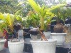 bonsai-kelapa-makin-digemari-saat-pandemi.jpg