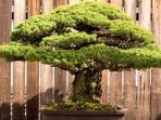 bonsai_1803.jpg