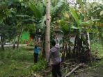 breaking-news-jatuh-dari-pohon-kelapa-penderes-nira-di-kulon-progo-tewas.jpg