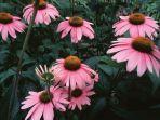bunga-echinacea.jpg
