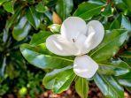 bunga-magnolia-pembawa-hoki.jpg