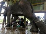 gajah-yang-kakinya-terluka.jpg