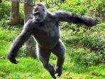 gorila-di-inggris-ini-malah-gemar-menari-dan-ditonton-orang_20170510_141112.jpg