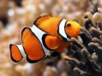 ikan-giru-clownfish_20160301_195231.jpg